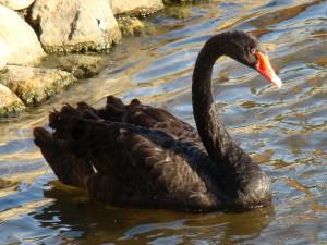 Black_Swan-Mindaugas_Urbonas